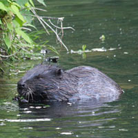 beavers in the uk